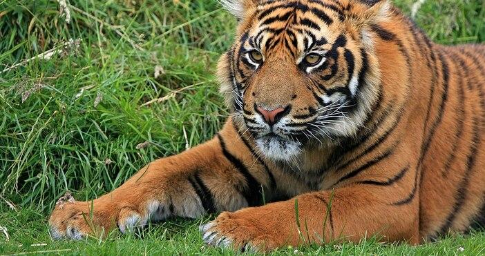 снимка:Kaz, УикипедияБалийският тигър (Panthera tigris balica) е подвид на тигъра,