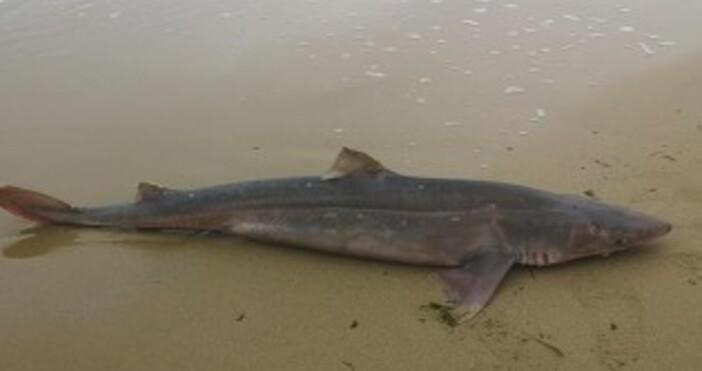 На Траката изплува тяло на мъртва акула. За изхвърленото от