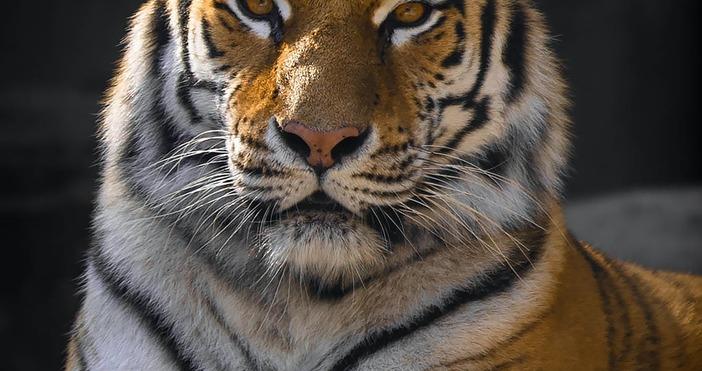 Илюстрация PexelsКовид 19 започна да поваля смъртоносно и животни. Тигрица,