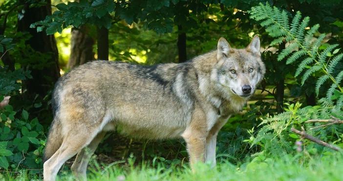 Снимка: PexelsВълчица, прибрана вчера в зоопарка в Хасково, избяга тази
