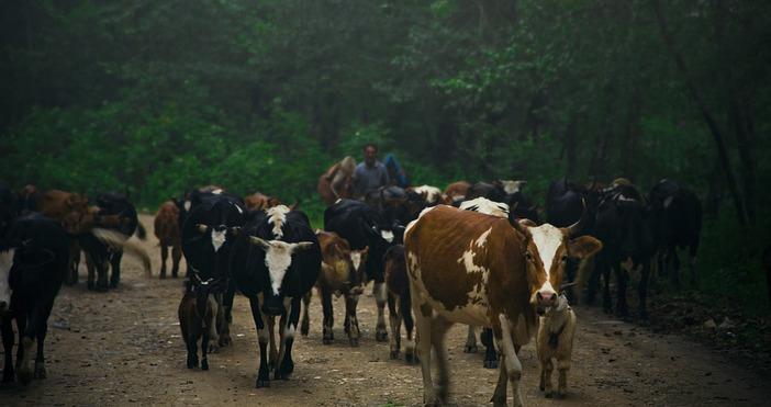 фото: pixabay.comВ доклада не се посочвадали кравите са боледували от