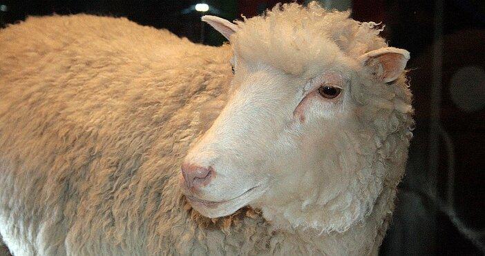 снимка:Toni Barros, УикипедияТя е първият бозайник, успешно клониран от възрастни
